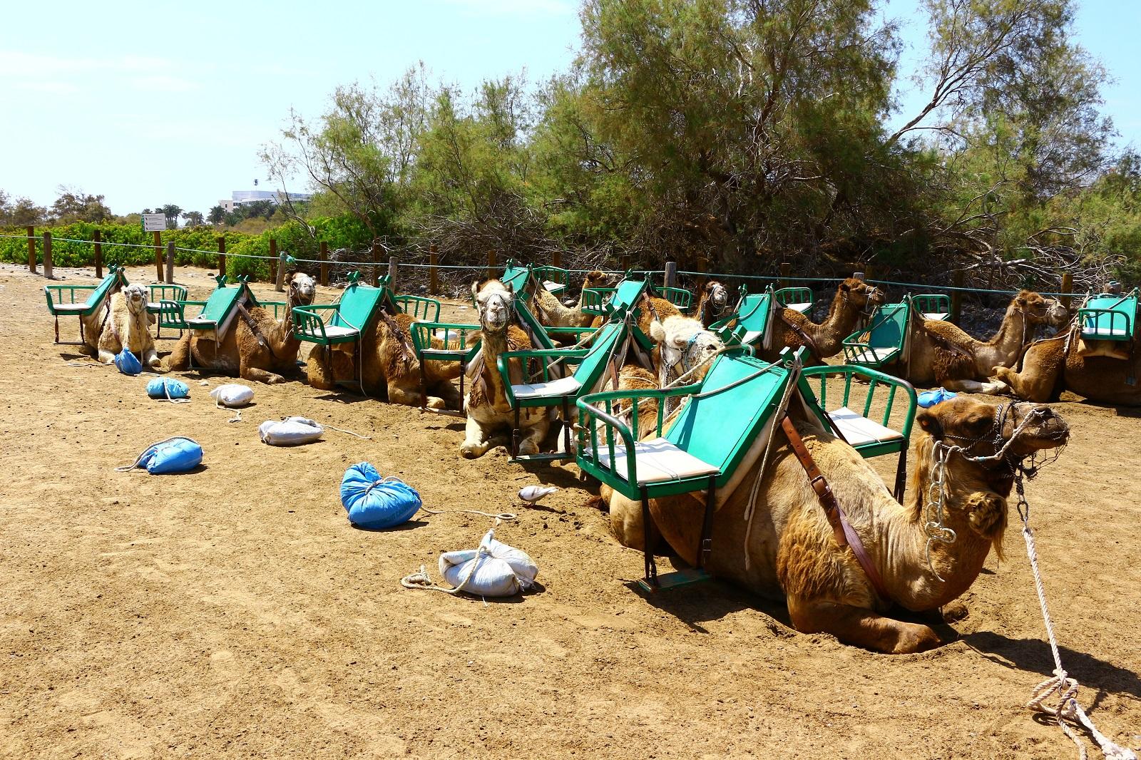 kameelrijden maspalomas gran canaria